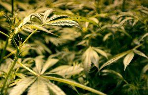 N.J. Marijuana Legalization May Pose Problems for New York